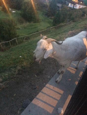 goatfriend